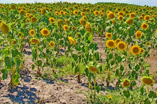 Foto: Wikipedija / Suncokreti u Vojvodini